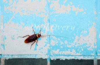 Cockroach Insect (Periplaneta americana) Common or American Cock
