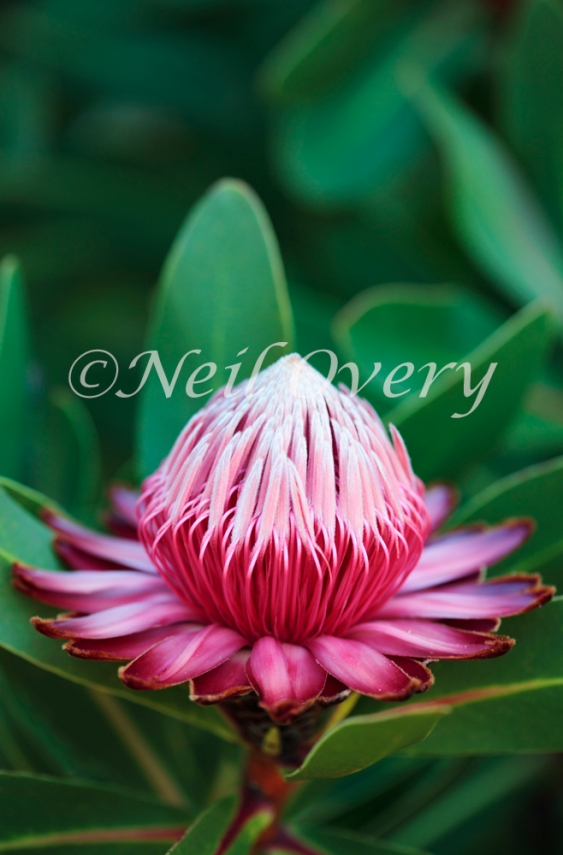 Protea rubropilosa (Transvaal Sugarbush), Cape Town, South Africa