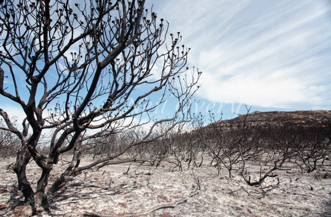 Protea plants in fire ravaged landscape, Cape Point Nature Reserve, nr Cape Town, Western Cape, South Africa. Many protea plants only produce new growth after natural fires. However, in many parts of South Africa protea populations are under threat by too frequent fires, often caused by humans.