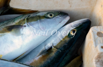 Freshly caught Cape Yellowtail, Kalk Bay, South Africa