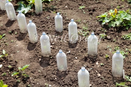 Seedlings being protected (cloche) by plastic bottles in allotment, nr Haywards Heath, West Sussex, England