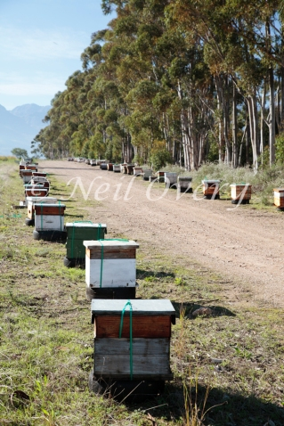 Apiary containing (Apis Mellifera Capensis - Cape Honey Bee), nr Tulbagh, Western Cape, South Africa