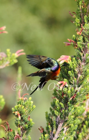 Orange-breasted sunbird (Anthobaphes violacea) on Erica fynbos flower, Cape Town, South Africa - This sunbird is endemic to the fynbos habitat of southwestern South Africa.
