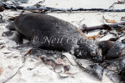 Dead juvenile Cape Fur Seal or Fur Seal (Arctocephalus pusillus) washed up on beach after storm, Pringle Bay, Western Cape, South Africa