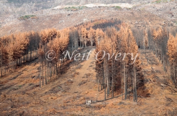 Commercial Pine Plantation being harvested after serious fire (March 2015), Jonkershoek Nature Reserve, Stellenbosch, Western Cape, South Africa.