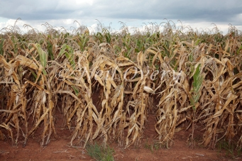 Abandoned corn / maize crop due to 2016 drought in South Africa, nr Middelburg, Mpumalanga, South Africa