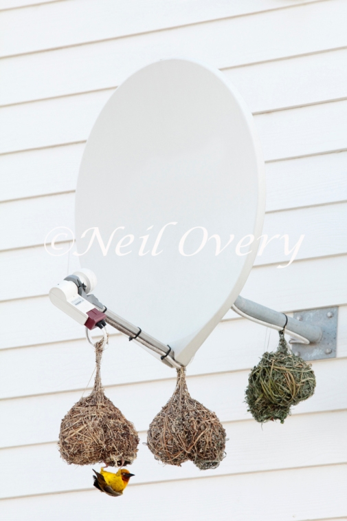 Southern masked weaver or African masked weaver (Ploceus velatus) making its characteristic woven nest on a satellite dish, nr Cape Town, South Africa.