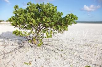 Mangrove tree, Zanzibar.