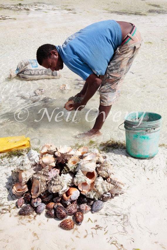 Shell being prepared for sale. Shells for sale on the beach. It is actually illegal to sell or buy shells as the harvesting of sea shells is having a damaging effect on sea life and coral formations on the east coast of Zanzibar. Jambiani, Zanzibar, Tanzania