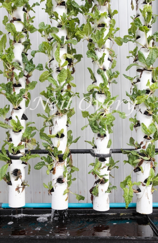 Hydroponic system growing lettuce, Cape Town, South Africa