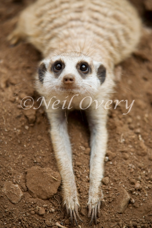 Meercat cooling off, South Africa