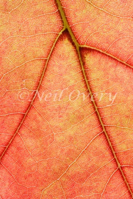 Close up of autumn leaf, Hogsback, Eastern Cape, South Africa