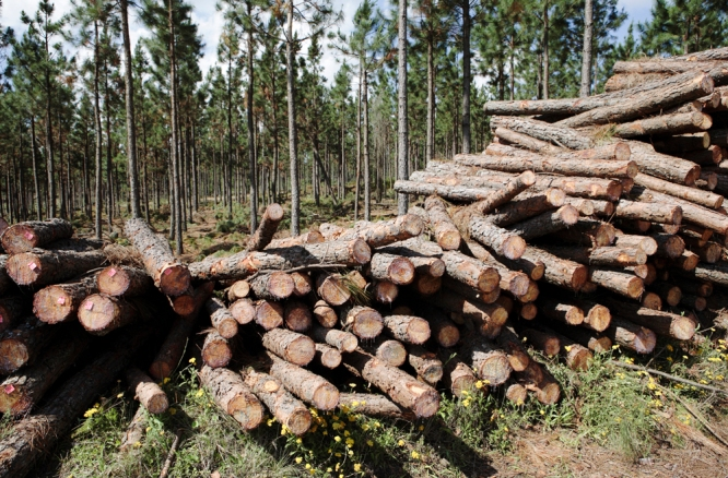 Recently felled Conifer (Pinus) timber from tree plantation near Graskop, Mpumalanga, South Africa