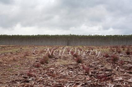 Blue Gum (Eucalyptus globulus) plantation, nr Barberton, Mpumalanga, South Africa