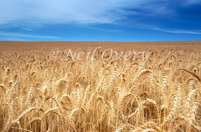Field of Wheat, Overberg, South Africa