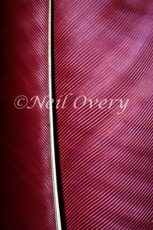 Detail of Red Feather