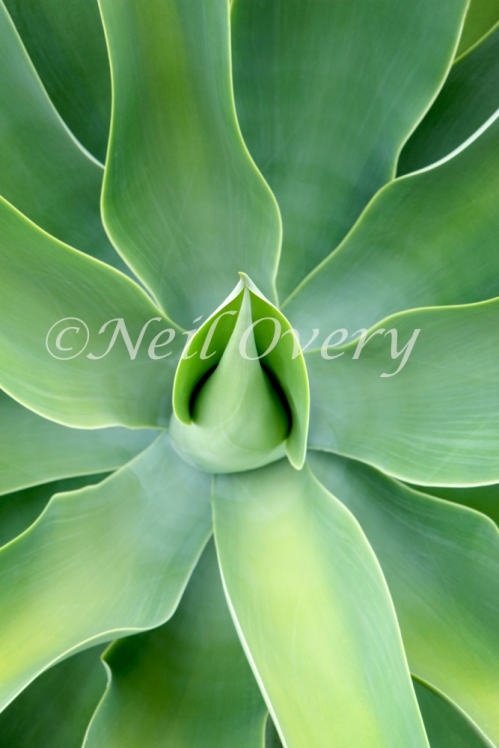 Agave attenuata plant, Prince Albert, Western Cape, South Africa