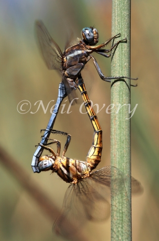 Dragonflies Mating, South Africa