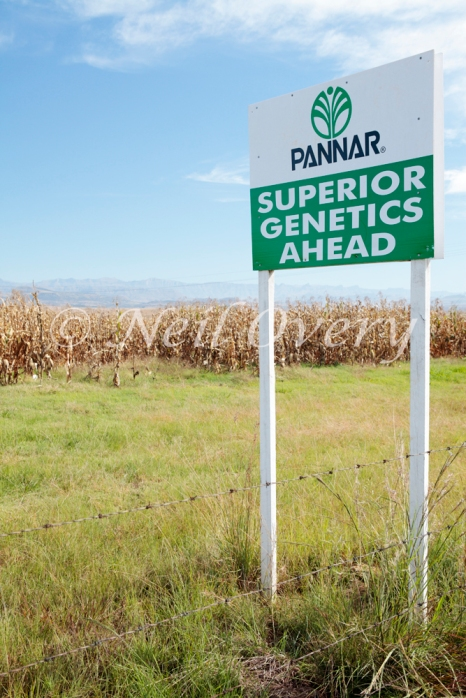 Trial of Genetically Modified Maize Corn Crop, nr Winterton, Kwa-Zulu Natal, South Africa