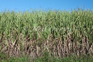 Field of Sugarcane (Sacharum Officinarum), nr Harburg, Kwa-Zulu Natal, South Africa