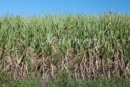 Field of Sugarcane (Sacharum Officinarum), nr Harburg, Kwa-Zulu Natal, South Africa